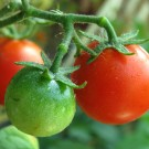 Green/Red Cherry Tomato